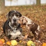 Louisiana Catahoula hund med förtjusande i höst fotografering för bildbyråer