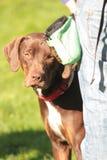 Louisiana Catahoula Leopard dog. Ruby dog. Louisiana Catahoula Leopard dog Royalty Free Stock Image