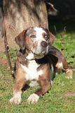 Louisiana Catahoula Leopard dog Stock Image