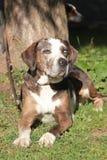 Louisiana Catahoula Leopard dog. Tricolor dog. Louisiana Catahoula Leopard dog Stock Image