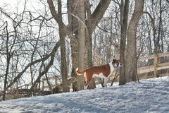 Louisiana Catahoula leopard hog dog in Illinois in. This red Catahoula is watching for something, maybe prey, or his master. He looks ahead, looking toward Stock Images