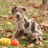 Louisiana Catahoula puppy in Autumn Stock Photography