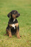 Louisiana Catahoula puppy on the grass Royalty Free Stock Photos