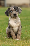 Louisiana Catahoula puppy on the grass Royalty Free Stock Images