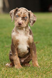 Louisiana Catahoula puppy on the grass Royalty Free Stock Photo