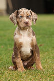 Louisiana Catahoula puppy on the grass Stock Photos