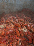 Louisiana Crawfish. Mouth watering, tasty Louisiana Crawfish Royalty Free Stock Photo