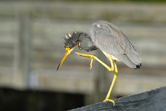 Louisiana Heron. Balanced on the pier Stock Image