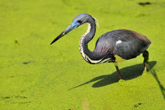 Louisiana Heron Royalty Free Stock Photo