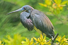 Louisiana heron Stock Photography