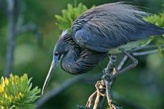 Louisiana heron Royalty Free Stock Photos