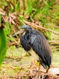 Louisiana Heron Bird Royalty Free Stock Photos