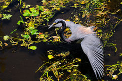 Louisiana Heron Fishing Royalty Free Stock Image
