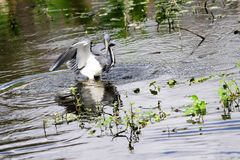 Louisiana heron fishing Royalty Free Stock Photography