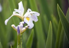 Blooming Louisiana Iris royalty free stock image