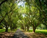 Louisiana-Landschaftsbaumreihen stockfotos