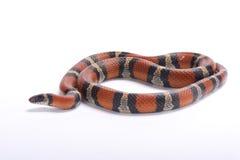 Louisiana milk snake, Lampropeltis triangulum amaura. The Louisiana milk snake, Lampropeltis triangulum amaura, is a large, non-venomous snake species found in Stock Photo