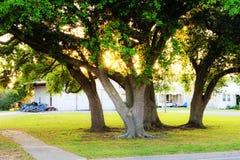 Louisiana Oak Trees. Oak trees on a Louisiana bayou royalty free stock image