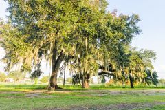 Louisiana Oak Trees. Oak trees with Spanish moss at Lafayette, Louisiana Royalty Free Stock Image
