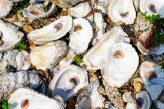 Louisiana Oyster Shells. Oyster shells on a bayou in south Louisiana stock photos