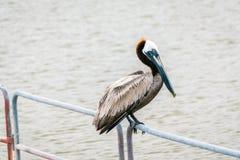 Louisiana-Pelikan lizenzfreie stockfotografie