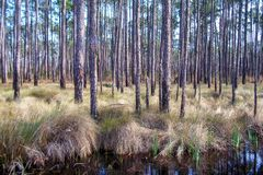 Louisiana Woods. A scene from a trail near Mandeville, Louisiana in the piney woods Royalty Free Stock Photos