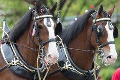 The Pegasus Parade 2018. Louisville, Kentucky, USA - May 03, 2018: The Pegasus Parade, Horses pulling a wagon, driven by a man, with a dalmata dog riding on top stock photography