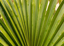 Loulu Fan Palm  Royalty Free Stock Photography