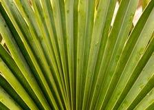 Loulu Fan Palm  Royalty Free Stock Photography