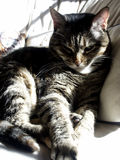 Lounge Cat. Cat relaxing on pillows in the sun Stock Photography