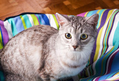 Lounger cat Stock Photography