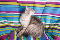 Lounger cat Royalty Free Stock Photo