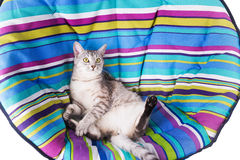 Lounger cat Stock Image