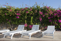 Lounges standing near the flowering bougainvillea Stock Image