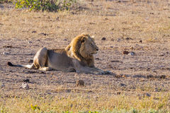 Loungin` Lion stock image