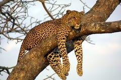 lounging懒惰的豹子 库存照片