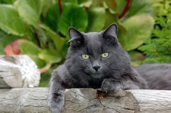 lounging猫的灰色 库存图片