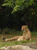lounging的猎豹 库存图片