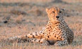 Lounging гепард Стоковая Фотография