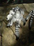 Lounging猴子 免版税图库摄影