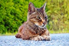 Lounging邻里猫 免版税库存图片
