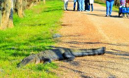 Lounging around. A large alligator relaxing in the sun while people look on Stock Photography
