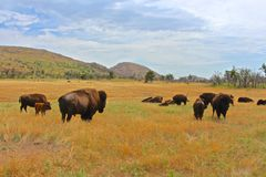 Lounging Buffalo Herd Royalty Free Stock Image