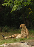 Lounging Cheetah. Cheetah taking a mid-mornings rest, sunbathing in the bright sun Stock Image