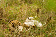Lounging Cheetah in the Bush in South Africa Stock Images