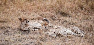 Lounging Cheetahs Stock Images