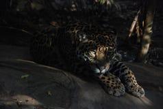 Lounging de Jaguar photographie stock libre de droits