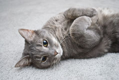 Lounging Grey Cat Stock Photo