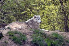Lounging grey wolf Stock Photos