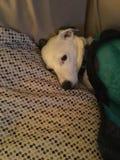 Lounging i gnuśny pies Zdjęcia Royalty Free